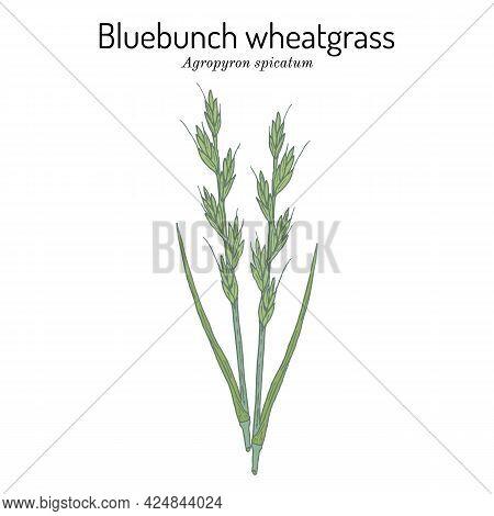 Bluebunch Wheatgrass Agropyron , Or Pseudoroegneria , Official State Grass Of Montana. Vector Hand D