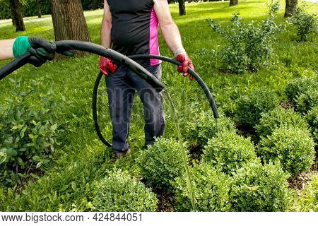 Close-up Of A Man Hose Watering Plants In A City Park. The Municipal City Service Carries Out Work O