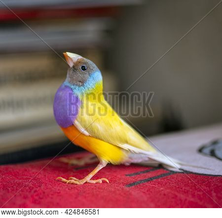 Gould Finch Series. Yellow, With A Gray Head And Purple Breasts, Male. Portrait. Indoor.