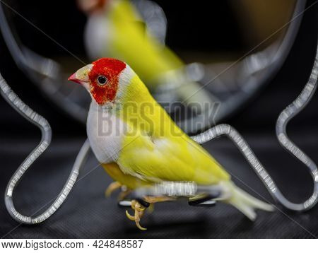 Gould Finch Series. Yellow, With A Red-head And White Breasts, Male. In Front Of A Mirror.