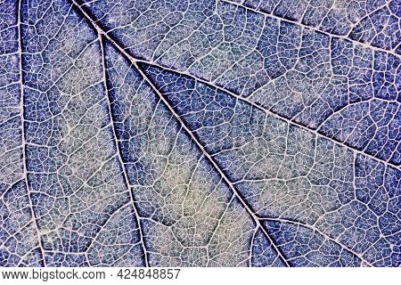Close-up Tree Leaf. Mosaic Pattern Of Plant Veins And Cells. Blue Tinted Background Similar To A Dis