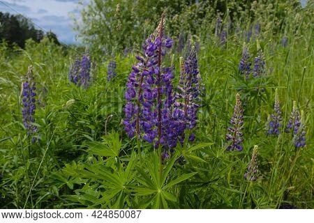 Lupinus Albus. Beautiful Purple And Blue Wild Flowers Of Lupinus