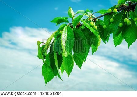 Branch Of Green Unripe Cherry On A Background Of Blue Cloudy Sky.good Harvest Of Cherries.