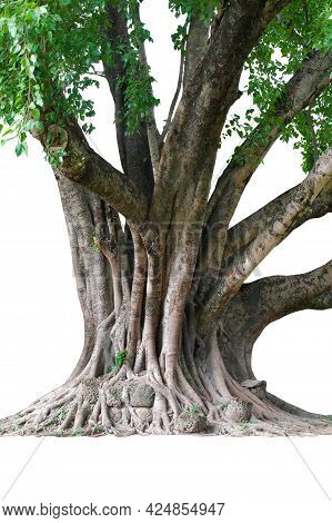 Image Of The Base Of An Tree On A White Background.