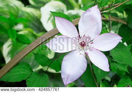 Clematis In Summer Timer. Blossom Of Clematis. Purple Flowers Of Clematis. Beautiful Flowers In The