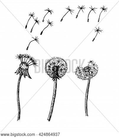 Dandelion, Flying Seeds Of Dandelion. Dandelion Sketch In A Vector Style. Isolated. Full Name Of The