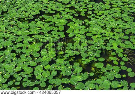 Water Lily. Lily Background, Texture. Pond Overgrown With Water Lilies. Top View Green Leaves Lotus