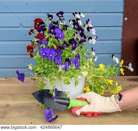 Women's Hands In Gardening Gloves Are Going To Plant Colorful Pansies. Spring Concept