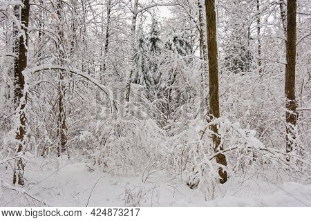 Wintertime Landscape Of Snowy Deciduous Stand With Alder Trees Bent In Foreground, Bialowieza Forest