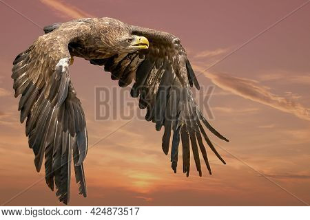 Eagle Flying In The Blue Sky. Imperial Eagle In Flight. Shaving Flying Eagle On A Background Of Blue
