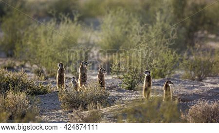 Meerkat Family In Alert In Backlit In Kgalagadi Transfrontier Park, South Africa; Specie Suricata Su