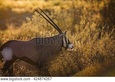 South African Oryx Portrait In Backlit At Sunrise In Kgalagadi Transfrontier Park, South Africa; Spe