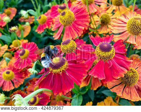 Bumblebee Pollinates The Flowers On Mountain Field During Summer