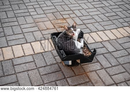 Growling Cat Lies In A Plastic Box Among The Sidewalk. Gray And White Spotted Adult Cat Resting On T