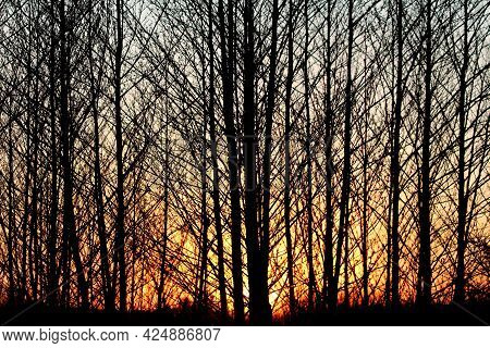 Beautiful Dense Symmetrical Forest At Sunset Filled With Tall Thin Trees Siluets With Branches Witho