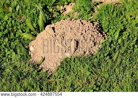 Molehill Or Conical Mound Of Loose Soil Raised By Small Burrowing Mammals Surrounded With Densely Gr