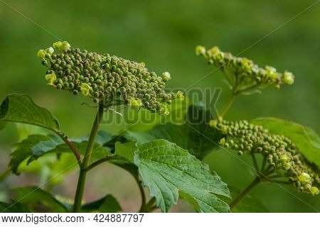 Viburnum Flower With Green Leaves On Sky Background In Sunny Weather