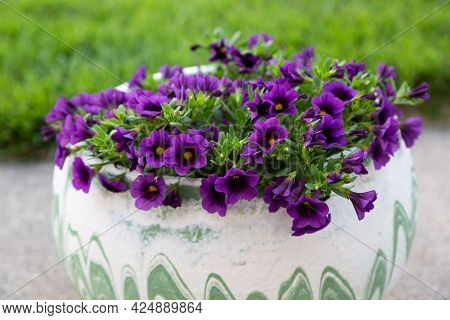 A Low Angle View Of A Flower Pot Full Of Grape Million Bells Flowers