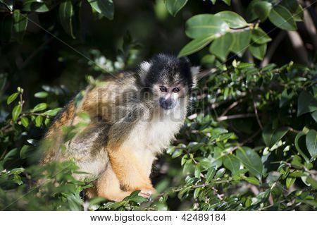 Bolivian Black Capped Squirrel Monkey, Saimiri Boliviensis Boliviensis