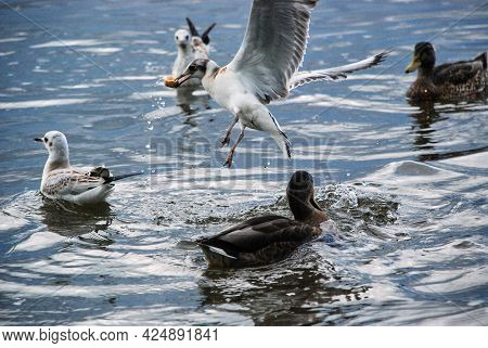 The Seagull Takes Off With Food In Its Beak. City Birds Swim In The Pond With Ducks And Seagulls. La