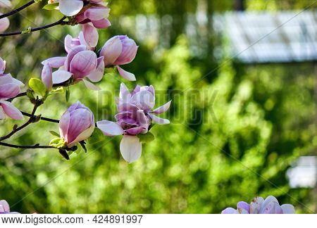 Magnolia Soulangeana (saucer Magnolia) Is A Hybrid Plant In The Genus Magnolia And Family Magnoliace