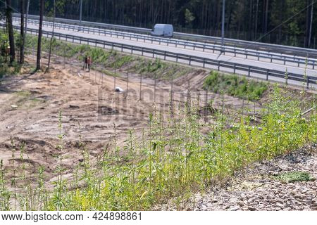 Marihuana On The Side Of The Road. Seeds Fall Into The Soil When Dumping Roadsides.
