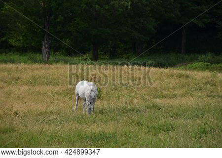 Pretty Horse On A Canadian Farm In The Province Of Quebec