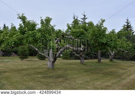 Pretty Orchard In The Canadian Countryside In The Province Of Quebec