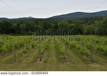 Small Vineyard In The Province Of Quebec, Canada