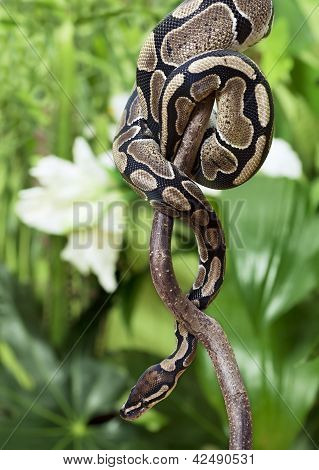 poster of Royal Python snake creeping on a wooden branch