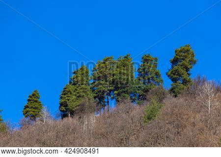 Green Trees In A Forest Of Old Spruce, Fir And Pine Trees In Wilderness Of A Park. Nature