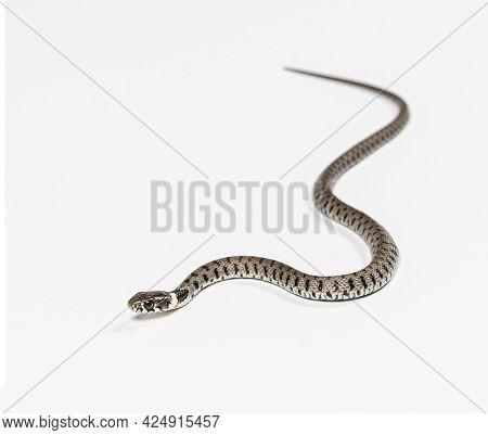 Grass snake, Natrix natrix, against a white background