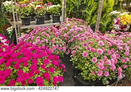 Pots With Blooming Chrysanthemums In The Greenhouse Of A Flower Shop. Growing Ornamental Plants For