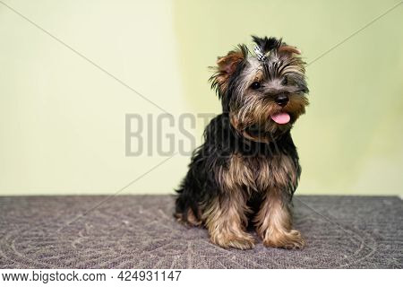 Yorkshire Terrier. Cute Dog Before A Haircut At The Groomer.
