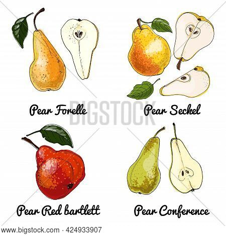 Pear Vector Food Icons Of Fruits. Colored Sketch Of Food Products. Pear Red Bartlett, Conference