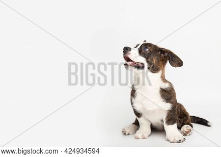 Welsh Corgi Cardigan Cute Fluffy Dog Puppies. Funny Animals On White Background With Copy Space