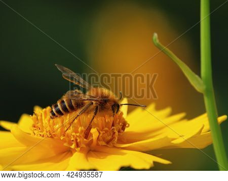 A Bee Collects Nectar On A Yellow Flower Close-up
