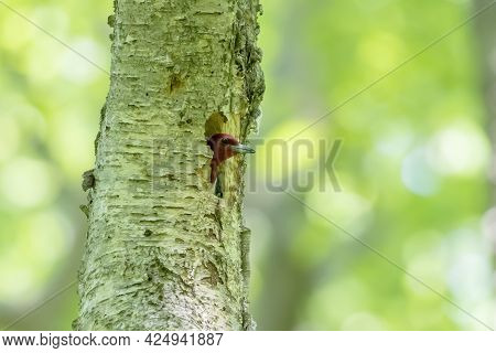 The Red-headed Woodpecker On A Tree With A Nest Cavity.