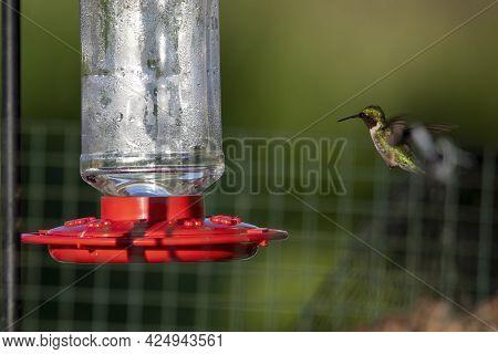 Ruby-throated Hummingbird ( Archilochus Colubris ) In Flight Near Feeder