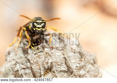 Macro Portrait Of Paper Wasp Among Wasp Nests In Vespiary. Selective Focus.