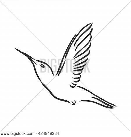 Hand Drawn Vector Illustration Isolated On White Background. Sketch For Tattoo.hummingbird Drawing.