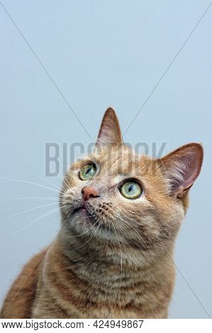 Portrait Of A Red Cat Looking Up Carefully. Close Up. Vertical Frame.