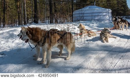 Brown, Fawn, Black And White Siberian Huskies Are Harnessed. The Team Is Resting On A Snowy Road. Th