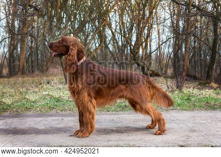 Beautiful Hunting Young Dog Irish Setter In Spring Standing In Forest