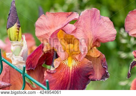 Beautiful Flowers Of Irises, Selective Focus. Background With Blooming Irises. Inspirational Natural