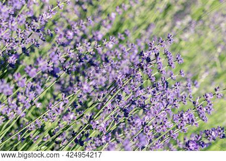Selective Focus On Purple Lavender Flowers On Blur Background.  Pastel Colors Background. Soft Dream