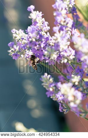Bees Collect Nectar On Lavender Flowers.selective Focus On Spring Insects. Pastel Colors Background.