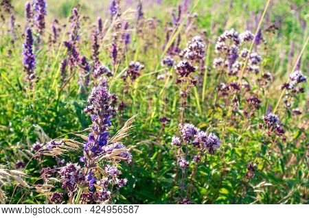 Oregano Flowers On A Natural Background. Blossoming Of Chaff. Medicinal Herbs.