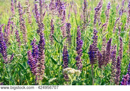 Salvia Officinalis Flowers. Natural Background Of Flowering Herbs. Meadow Clary. Purple Flowers On W