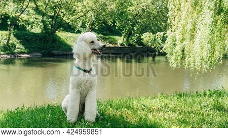 White Royal Or King Poodle Sits On The Lawn In The Park On A Sunny Summer Day. Standard Poodle Dog I